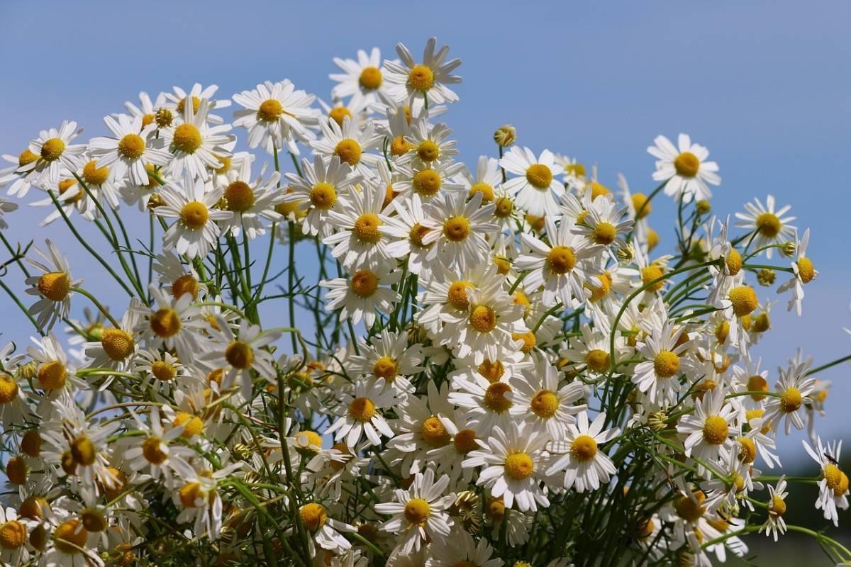 Ромашка аптечная: лечебные свойства и противопоказания