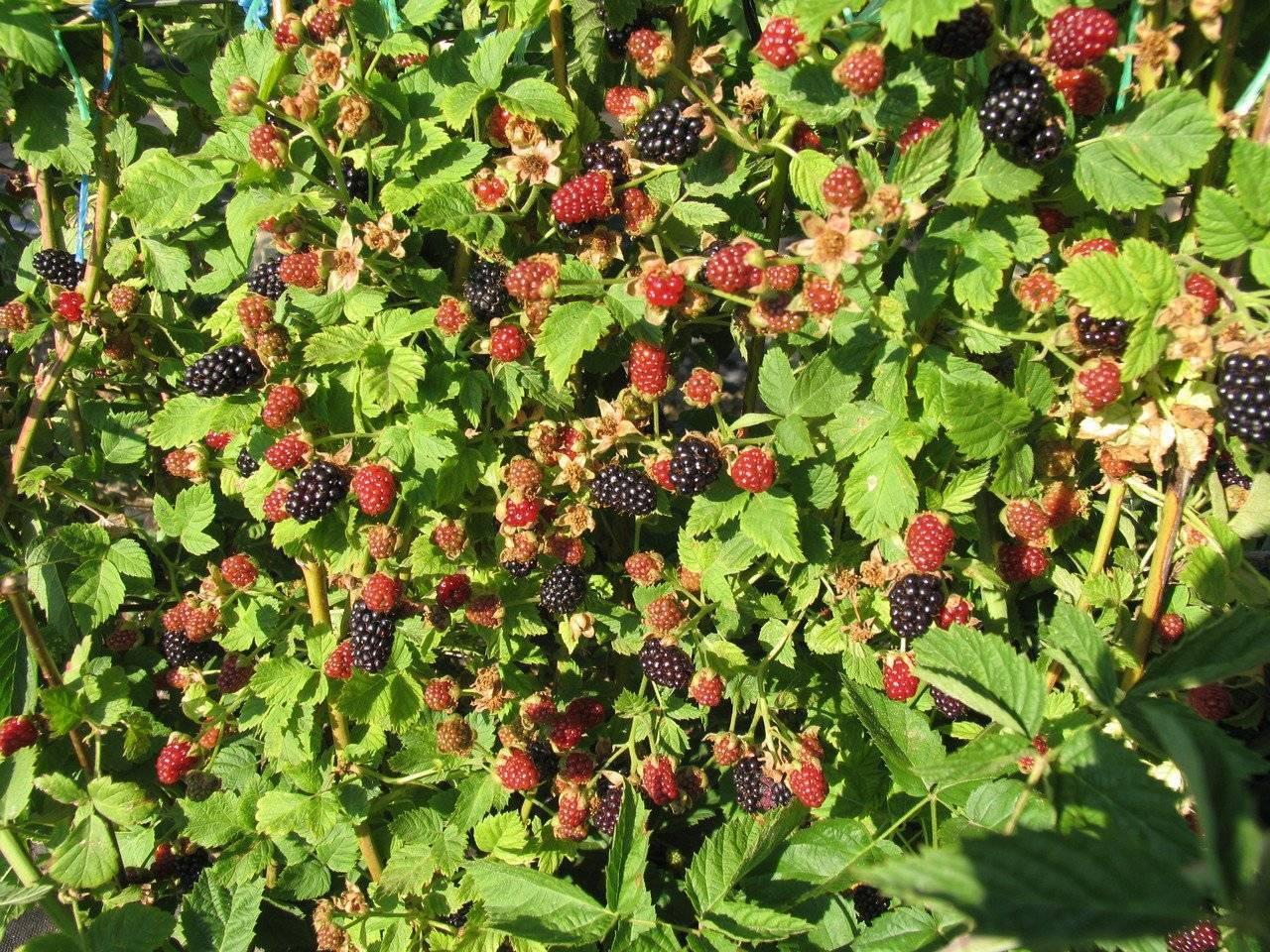 Удобрения для клубники весной для увеличения урожая - какое самое лучшее удобрение?