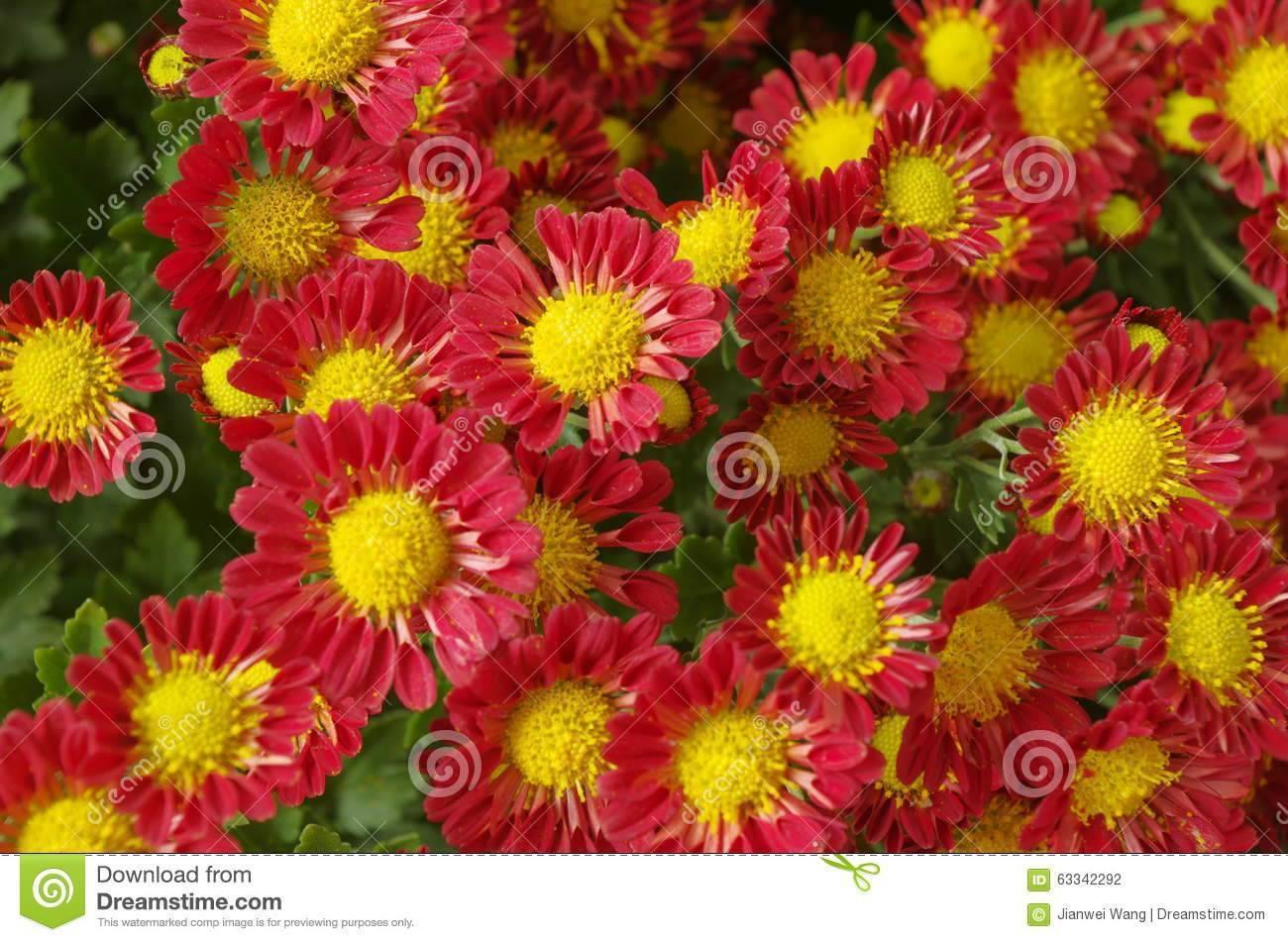 Хризантемы садовые многолетние: фото цветов, посадка и уход, сорта