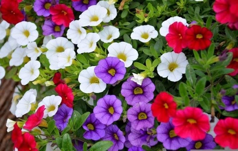 Чем подкормить петунию для обильного цветения - лучшие рецепты