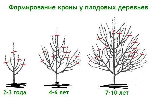 Как обрезать яблоню весной — правильная обрезка: схемы, фото