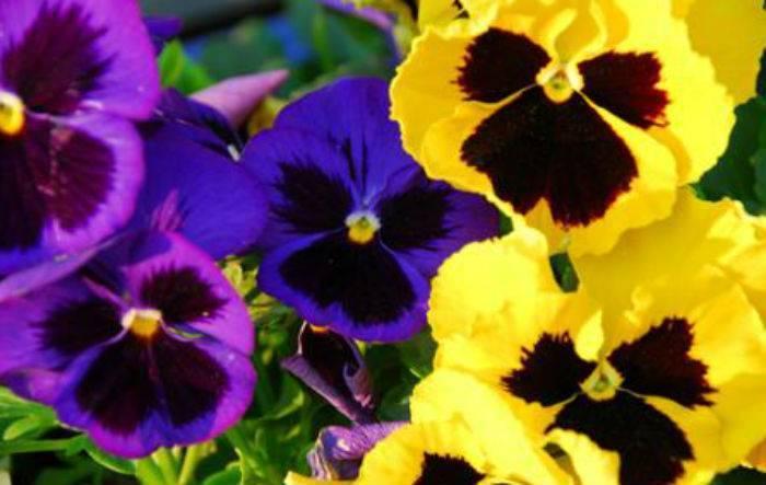 Анютины глазки (70 фото): посадка цветов и уход в открытом грунте, выращивание фиалки трехцветной на балконе в домашних условиях, описание однолетних и многолетних растений