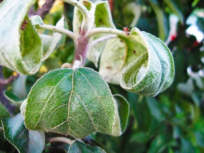Почему у груши чернеют листья: что делать, как бороться