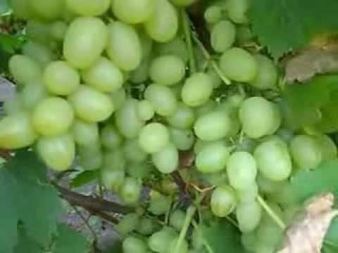 Виноград надежда аксайская: описание сорта, фото, характеристики, как бороться с вредителями?