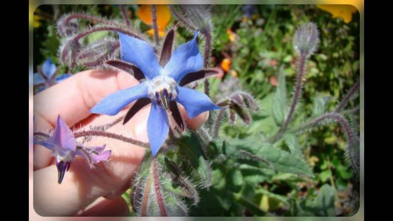 Огуречная трава бораго - особенности выращивания растения с ароматом огурца