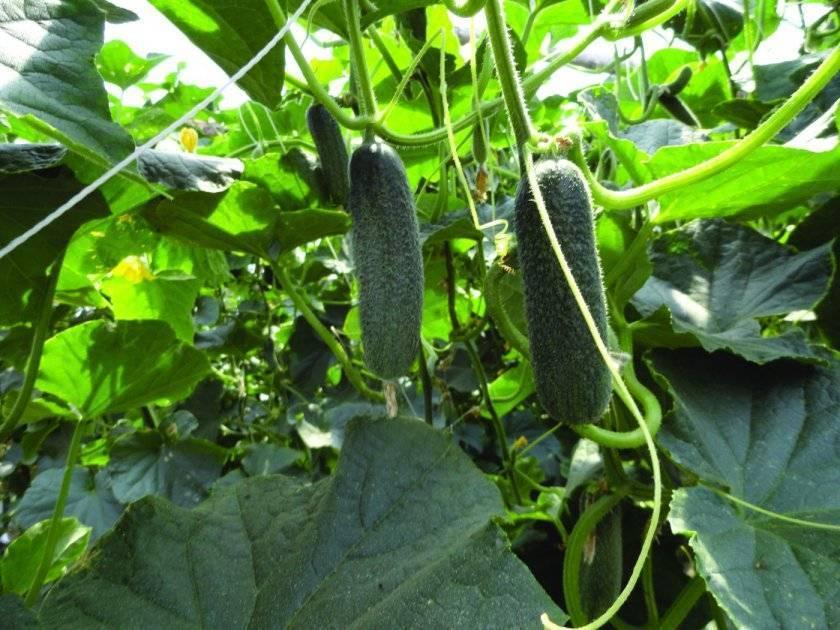 Характеристика и описание гибрида огурцов гуннар f1, выращивание и уход