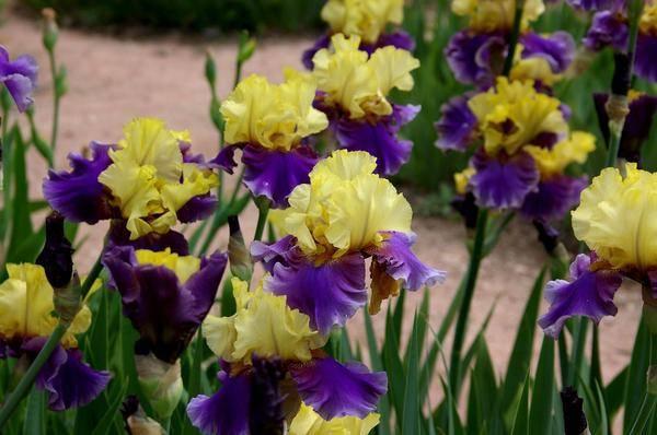 Садовая классификация ирисов