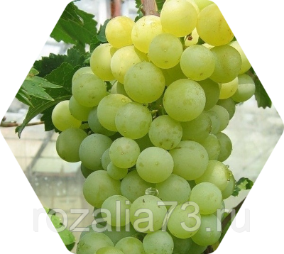 Полное описание сорта винограда алешенькин - общая информация - 2020