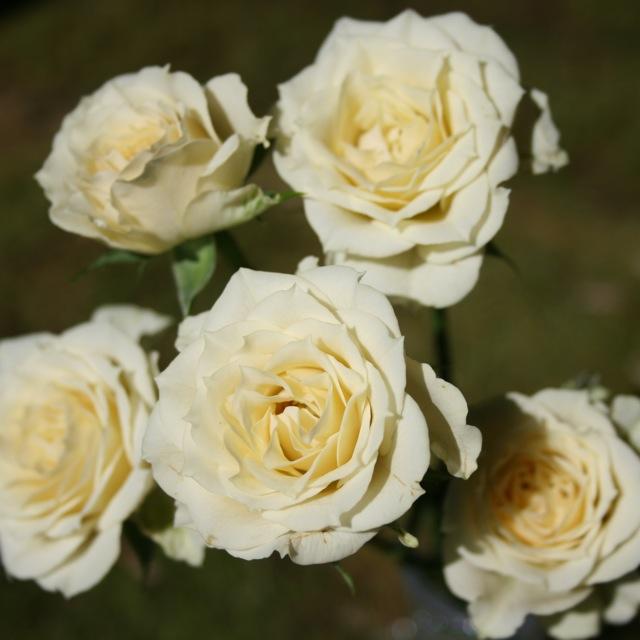 Роза чайно-гибридная vanilla. роза чайно-гибридная vanilla роза ванилла энциклопедия роз