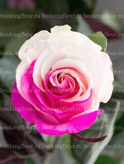 Самые красивые виды и сорта роз