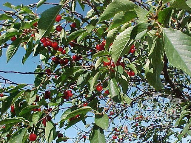 Описание описание лучших сортов сибирской вишни, посадка и уход в открытом грунте