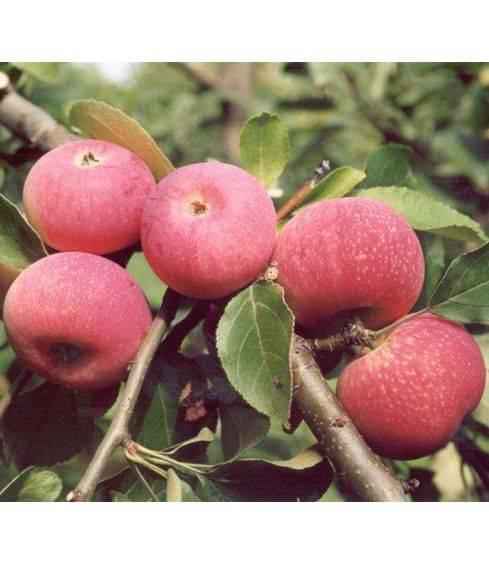 Характеристика и агротехника выращивания яблони сорта афродита