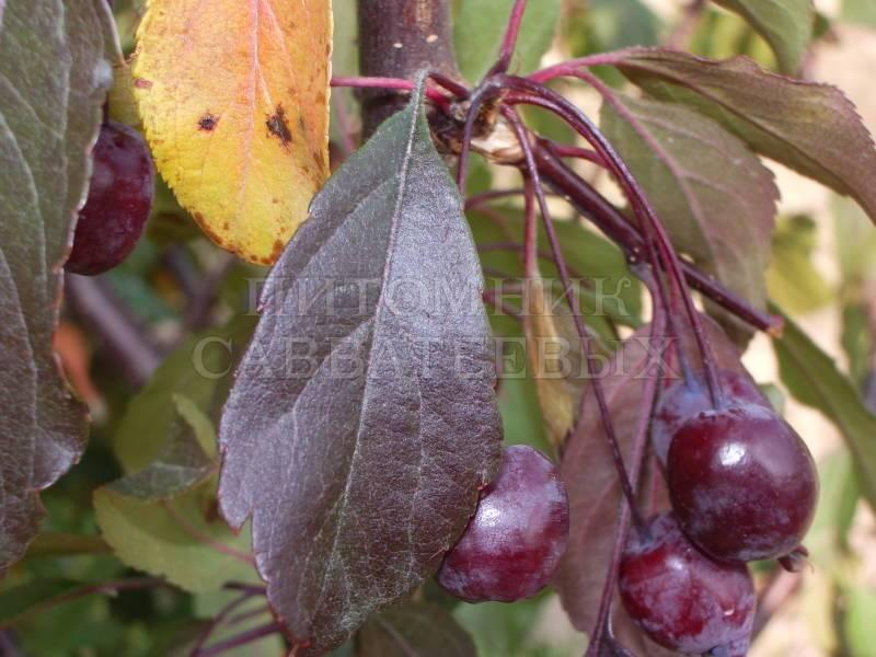 Сорт роялти: описание, посадка и уход за яблоней
