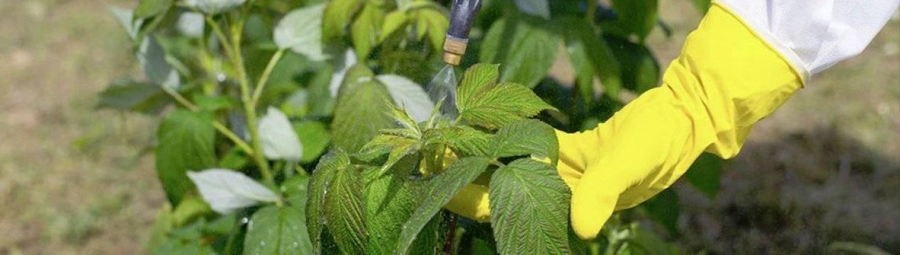 Выращивание малины: ремонтарной и обычной - посадка, подкормка, уход