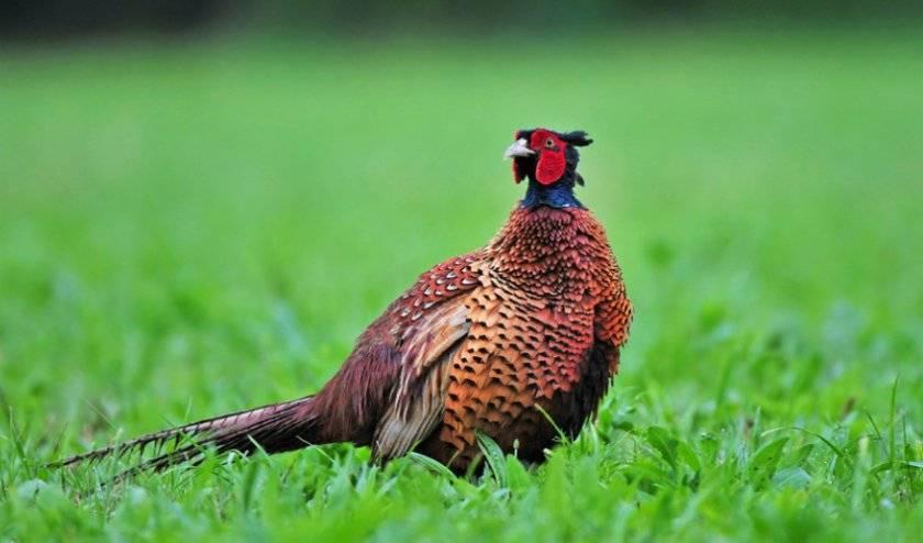 Фазан: описание и повадки птицы. где живут и что едят фазаны? виды  и молодняк фазанов