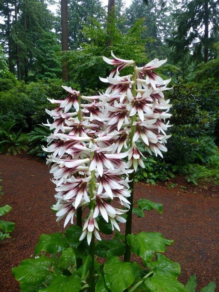 Лилии: размножение, обрезка, посадка и уход в открытом грунте