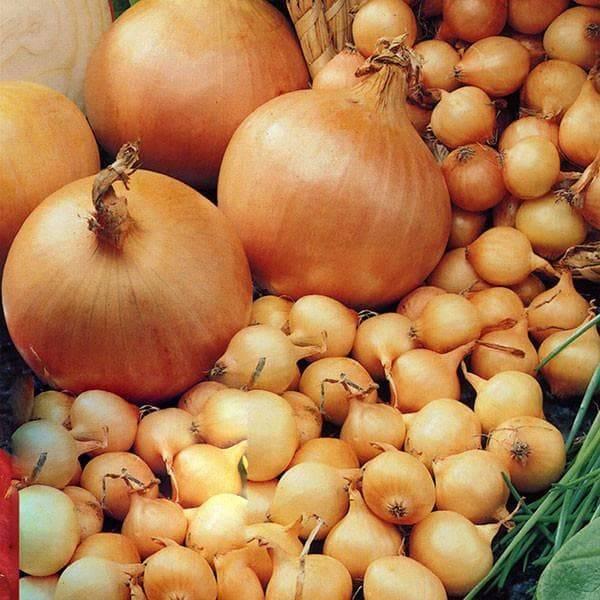 Особенности выращивания и ухода за сортом лука ялтинский
