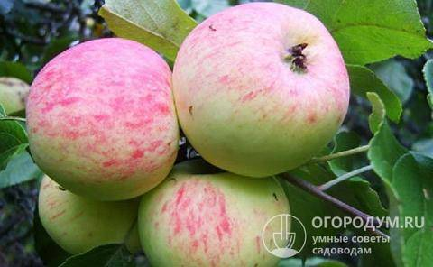 Яблоня грушовка московская — посадка и уход, описание сорта, видео