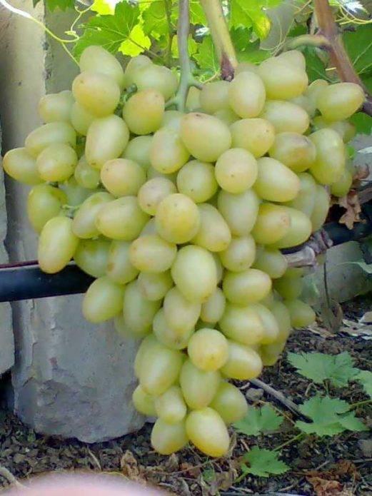 Описание винограда супер экстра