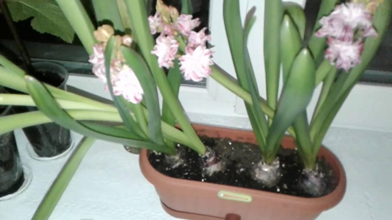 Гиацинт отцвел: что делать дальше в домашних условиях после цветения