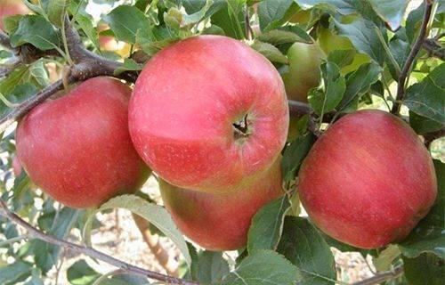 Сорт яблони «лигол»: характеристика, достоинства и недостатки