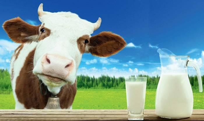 Корова дает молоко без беременности