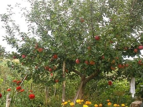 О яблоне Уралец, описание, характеристики, агротехника выращивания
