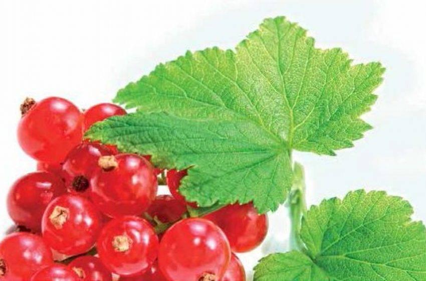 Лучшие сорта красной смородины с фото - самые вкусные, урожайные, морозоустойчивые