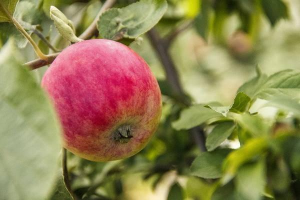 Как должна выполняться обработка яблонь осенью от вредителей и болезней?
