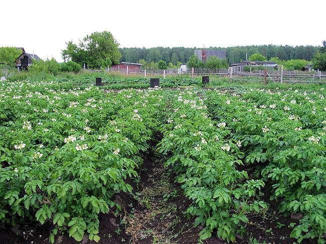 Лучшие технологии посадки картофеля