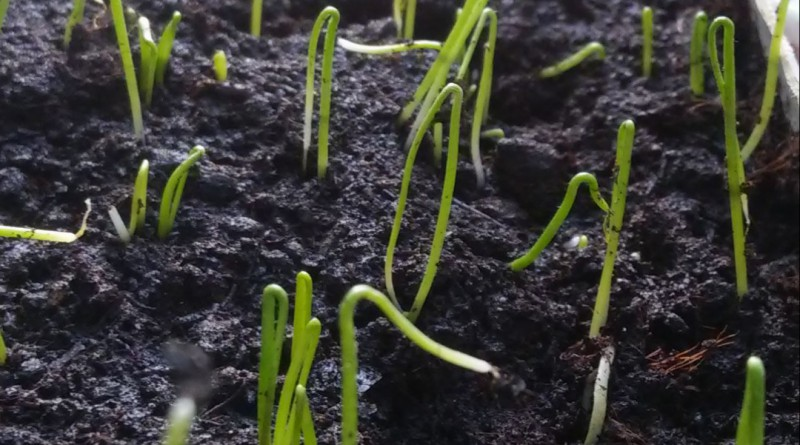 Лук чернушка: описание вида и 5 шагов выращивания