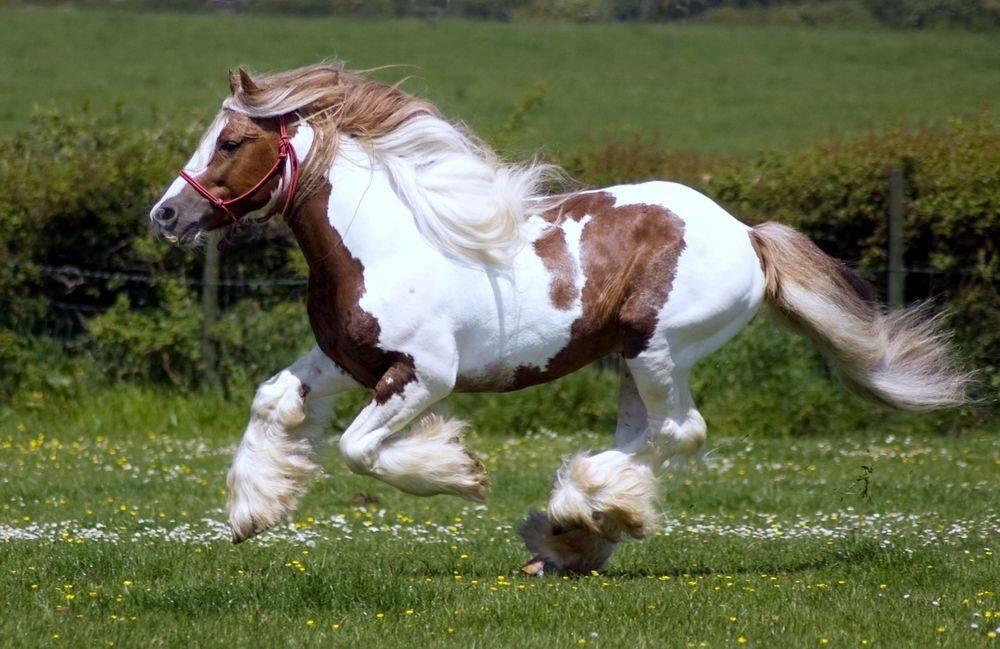 Чубарая масть лошадей: виды и породы
