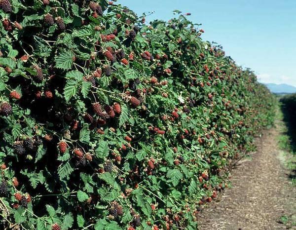 Урожайный сорт ежевики навахо — отзывы и характеристика