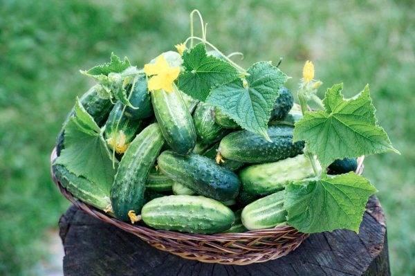 Посадка огурцов в открытый грунт семян или рассады — когда сажать и как правильно выращивать