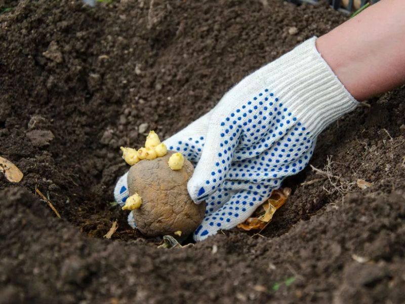 Удобрения для картофеля при посадке