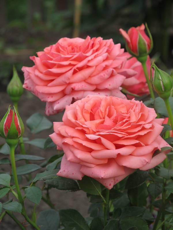 О чайно-гибридных розах: характеристики сортов белой, желтой, голубой розы