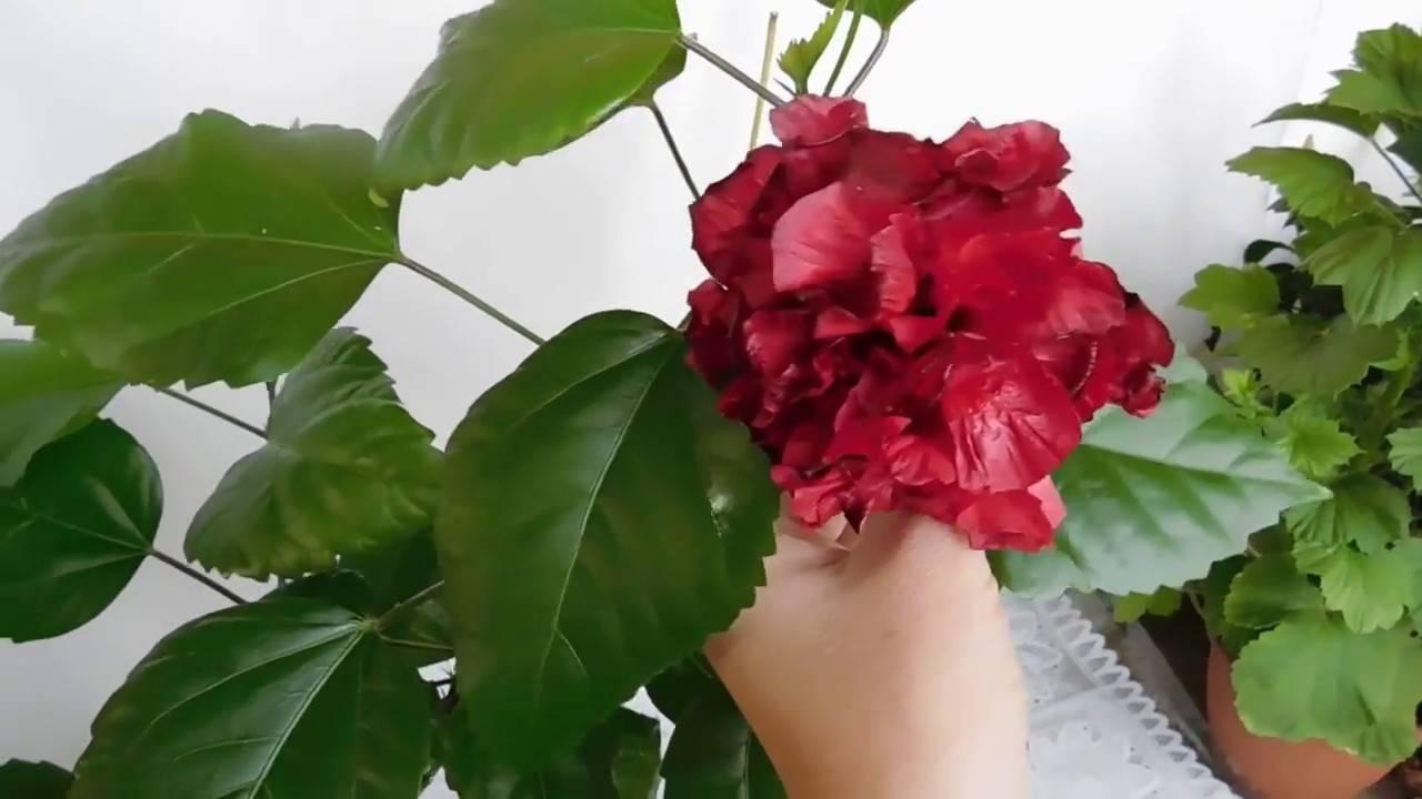 Как ухаживать за китайской розой в домашних условиях