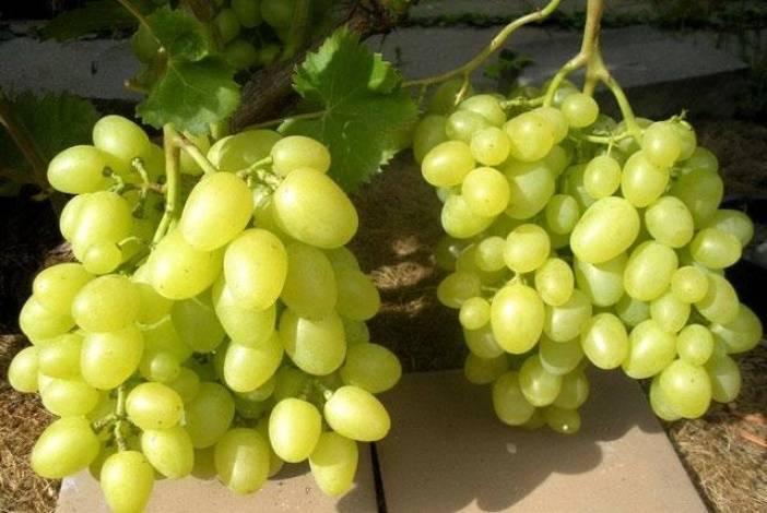 Виноград аркадия: описание сорта, фото, специфика выращивания