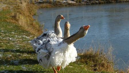 Шадринский гусь (16 фото): описание породы. как разводить серых шадринских гусей?