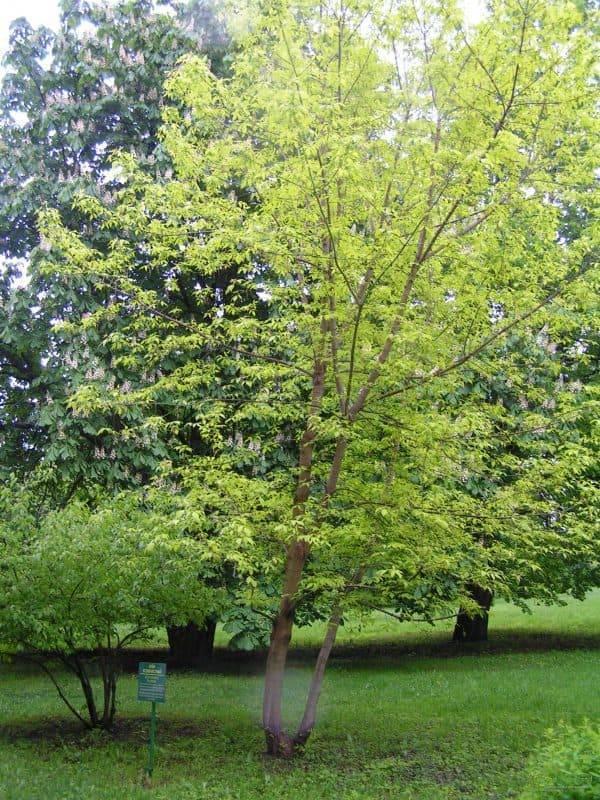 Совместимость деревьев и кустарников в саду