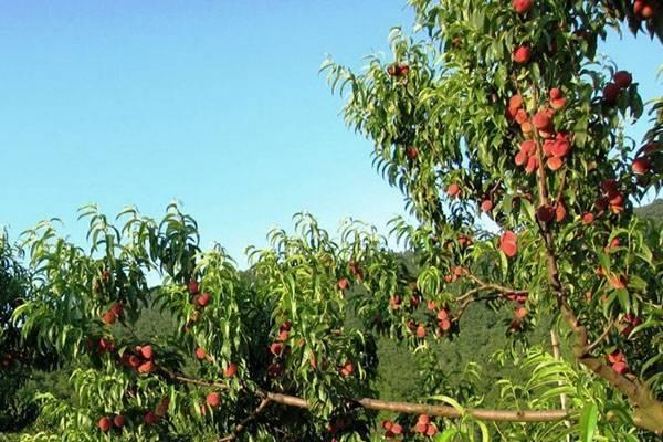 Обрезка персика: схемы образки и технология обработки дерева своими руками (130 фото)