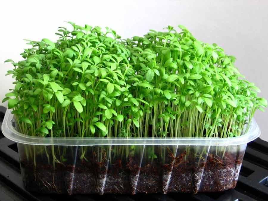 Кресс-салат – описание, как выглядит, применение, сорта, особенности выращивания