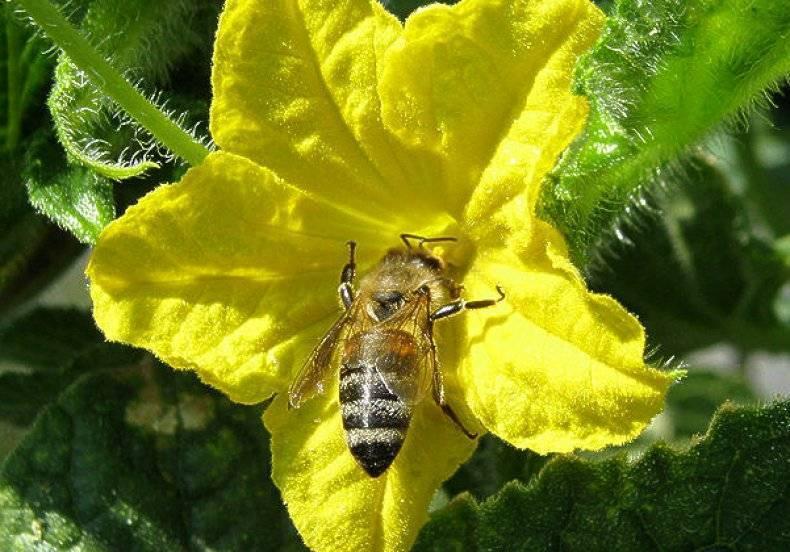 Пустоцветы на огурцах: почему и что можно сделать