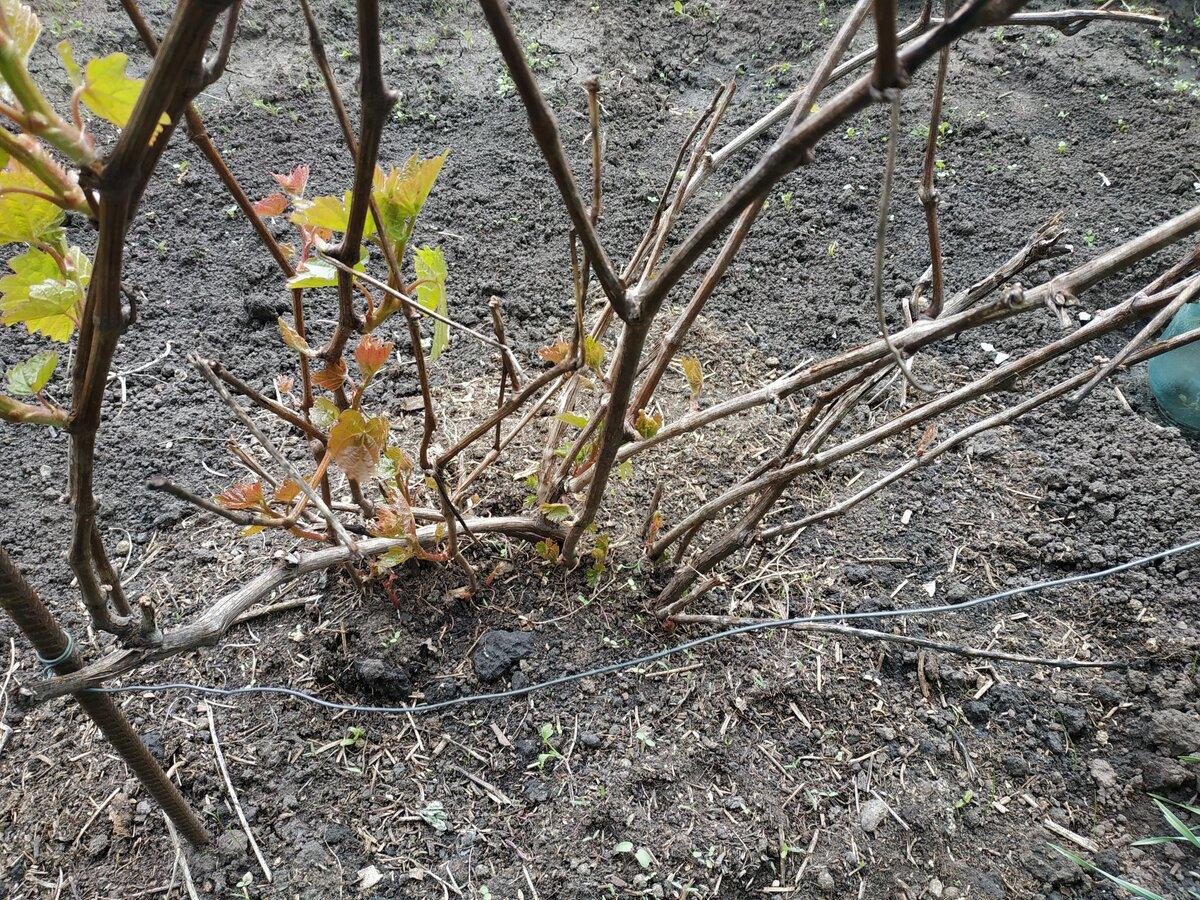 Какой мороз выдерживает виноград весной без укрытия — сколько градусов