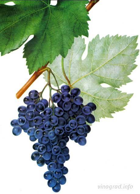 Мукузани — черное грузинское вино