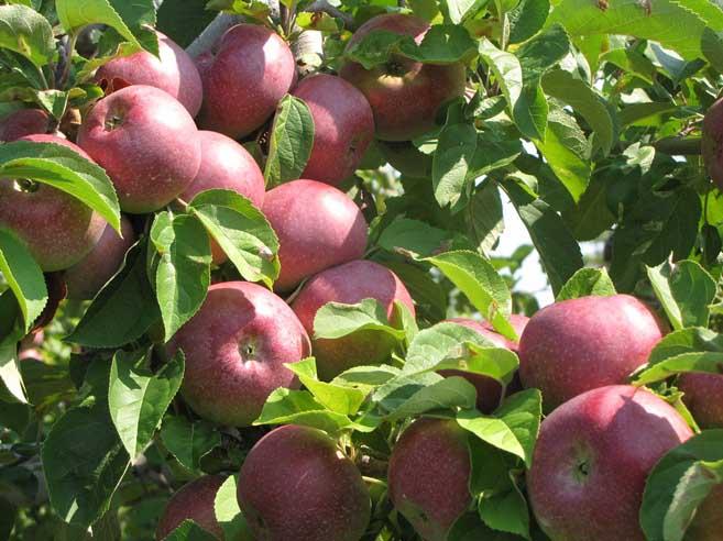 Яблоня макинтош — википедия. что такое яблоня макинтош