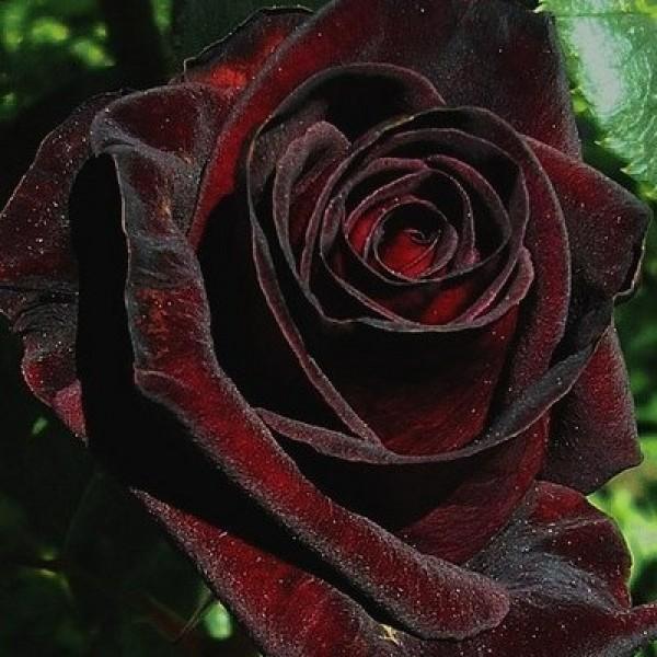 Черные розы (33 фото): кусты темно-алых роз. какие розы являются самыми черными? описание «черной магии», «черного принца» и других сортов