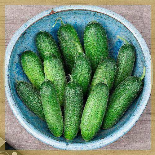 Гибрид огурцов голландской селекции «адам f1»: фото, видео, описание, посадка, характеристика, урожайность, отзывы