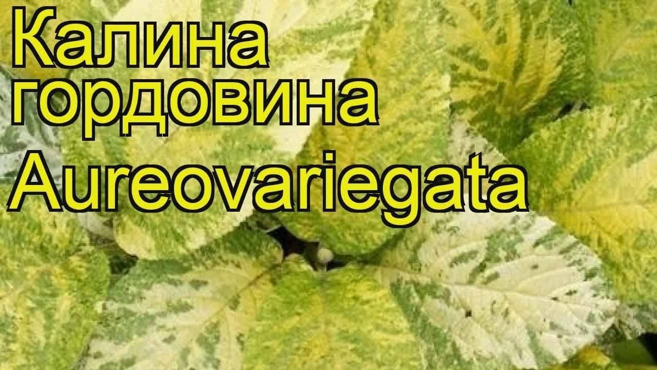 Калина нанум: описание, агротехника выращивания