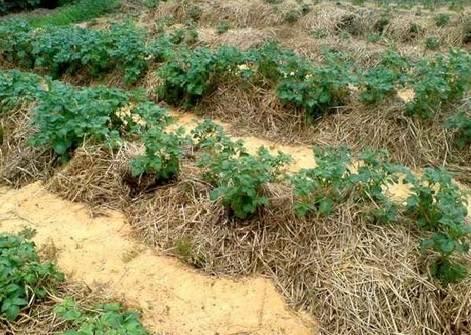 Как вырастить хороший урожай картофеля в огороде и как правильно ухаживать